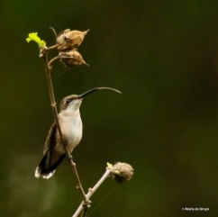 ruby-throated-hummingbird-i77a2353-maria-de-bruyn-res