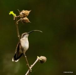 ruby-throated-hummingbird-i77a2353-maria-de-bruyn-res