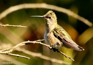 ruby-throated-hummingbird-i77a5725-maria-de-bruyn-res