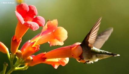 ruby-throated-hummingbird-i77a5851-maria-de-bruyn-res