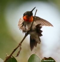 ruby-throated-hummingbird-i77a6177-maria-de-bruyn-res