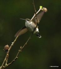 ruby-throated-hummingbird-i77a6366-maria-de-bruyn-res