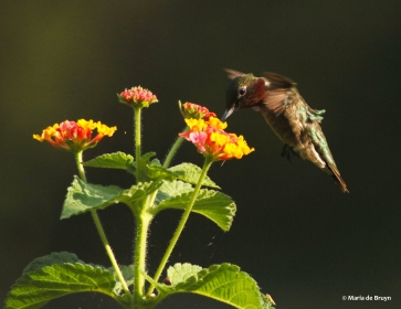 ruby-throated-hummingbird-i77a6866-maria-de-bruyn-res