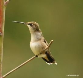 ruby-throated-hummingbird-i77a6885maria-de-bruyn-res