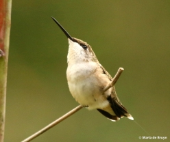 ruby-throated-hummingbird-i77a6891maria-de-bruyn-res