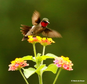 ruby-throated-hummingbird-i77a7167-maria-de-bruyn-res