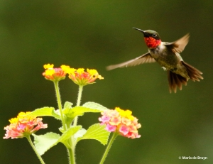 ruby-throated-hummingbird-i77a7168-maria-de-bruyn-res