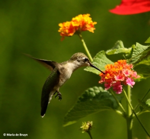 ruby-throated-hummingbird-i77a7246-maria-de-bruyn-res