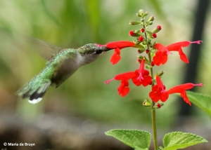 ruby-throated-hummingbird-i77a7519-maria-de-bruyn-res