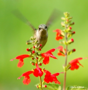 ruby-throated-hummingbird-i77a7716-maria-de-bruyn-res