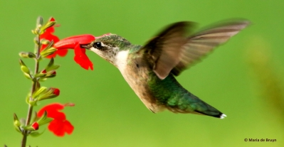 ruby-throated-hummingbird-i77a7782-maria-de-bruyn-res
