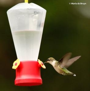 ruby-throated-hummingbird-i77a8243-maria-de-bruyn-res