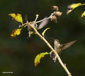 ruby-throated-hummingbird-i77a8255-maria-de-bruyn-res