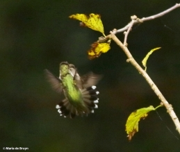 ruby-throated-hummingbird-i77a8257-maria-de-bruyn-res