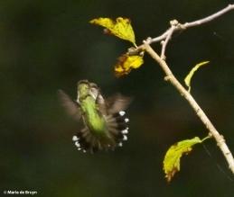 ruby-throated-hummingbird-i77a8257-maria-de-bruyn-res