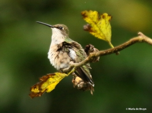 ruby-throated-hummingbird-i77a8401-maria-de-bruyn-res