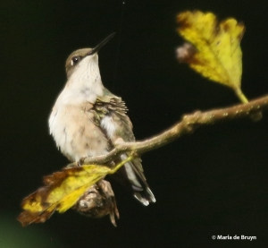 ruby-throated-hummingbird-i77a8438-maria-de-bruyn
