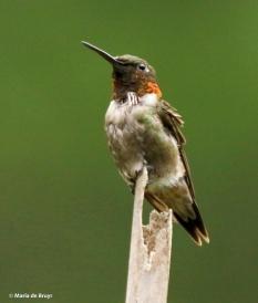 ruby-throated-hummingbird-i77a9185-maria-de-bruyn-res