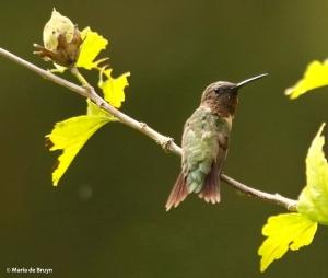 ruby-throated-hummingbird-i77a9443-maria-de-bruyn-res
