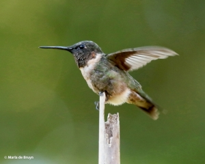 ruby-throated-hummingbird-i77a9703-maria-de-bruyn-res