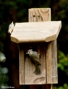 tufted-titmouse-i77a7417-maria-de-bruyn-res