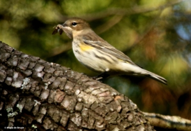 yellow-rumped-warbler-i77a5552-maria-de-bruyn-res