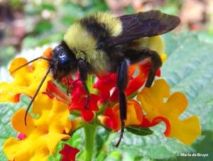 american-bumble-bee-male-img_5492-maria-de-bruyn-bg