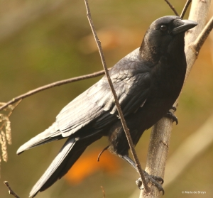 american-crow-i77a6327-maria-de-bruyn-res
