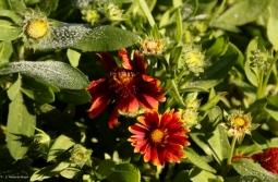 blanket-flower-i77a1309maria-de-bruyn-res