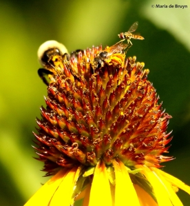 bumble-bee-halictus-sweat-bee-toxomerus-marginatus-i77a6296-maria-de-bruyn-res
