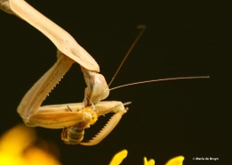 chinese-mantis-and-honey-bee-i77a4795maria-de-bruyn-res