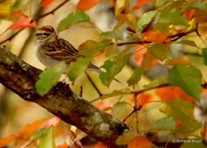 chipping-sparrow-i77a2915-maria-de-bruyn-res