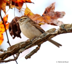 chipping-sparrow-i77a2925-maria-de-bruyn-res
