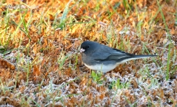 dark-eyed-junco-i77a0624maria-de-bruyn-res