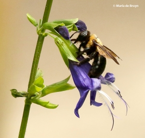de-bruyn-maria-carpenter-bee-brazilian-sage-2-i77a7250