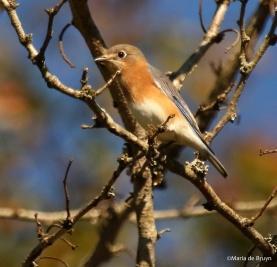 eastern-bluebird-i77a0688maria-de-bruyn-res