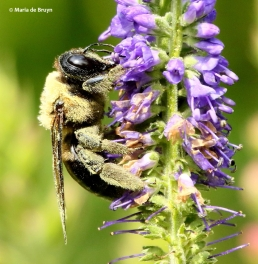 eastern-carpenter-bee-i77a2601-maria-de-bruyn-res