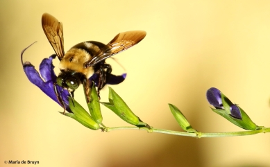eastern-carpenter-bee-i77a7906-maria-de-bruyn-signed-res