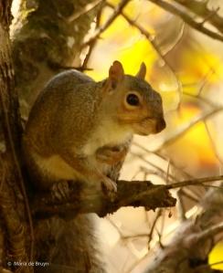 eastern-gray-squirrel-i77a2505-maria-de-bruyn-res