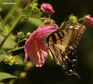 eastern-tiger-swallowtail-i77a3693maria-de-bruyn-res
