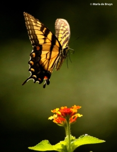 eastern-tiger-swallowtail-i77a8131-maria-de-bruyn-res