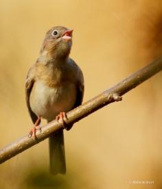 field-sparrow-i77a1587maria-de-bruyn-res