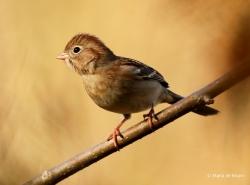 field-sparrow-i77a1634maria-de-bruyn-res