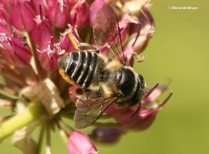 flat-tailed-leaf-cutter-bee-i77a4043-maria-de-bruyn-res