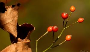 flowering-dogwood-i77a5820-maria-de-bruyn-res