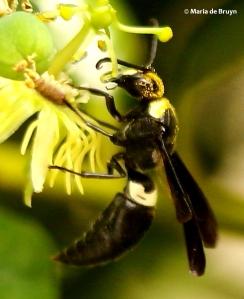 four-toothed-mason-wasp-monobia-quadridens-i77a2039-maria-de-bruyn-bg