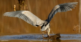 great-blue-heron-i77a1440maria-de-bruyn-res