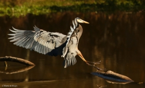 great-blue-heron-i77a1936maria-de-bruyn-res