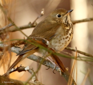hermit-thrush-i77a6034-maria-de-bruyn-res