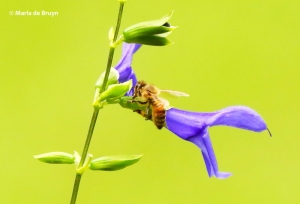 honey-bee-brazilian-sage-i77a1269-maria-de-bruyn-res